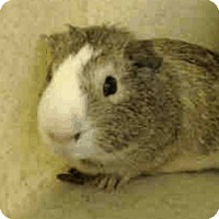 Adopt A Pet :: *Urgent* Patrick - Fullerton, CA