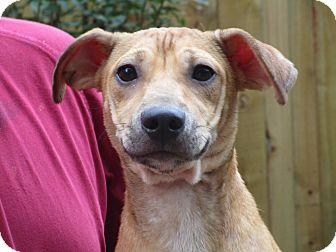 Labrador Retriever/Terrier (Unknown Type, Medium) Mix Puppy for adoption in Burlington, Vermont - A - NESSA