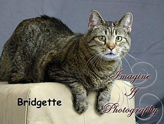 Domestic Shorthair Cat for adoption in Oklahoma City, Oklahoma - Bridgette