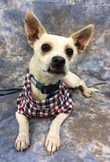 Chihuahua Mix Dog for adoption in Lake Elsinore, California - Jed