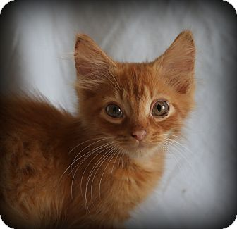 Domestic Mediumhair Kitten for adoption in Hagerstown, Maryland - Cayenne