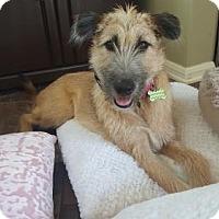 Adopt A Pet :: 'KIWI' - Agoura Hills, CA