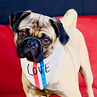 Adopt A Pet :: Pierre - Litchfield Park, AZ