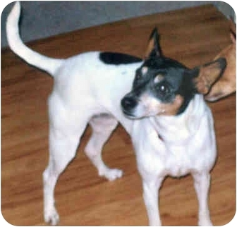 Rat Terrier Dog for adoption in Greenville, Wisconsin - Molly Too