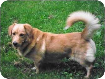 Golden Retriever/Basset Hound Mix Dog for adoption in New Fairfield, Connecticut - Bailey