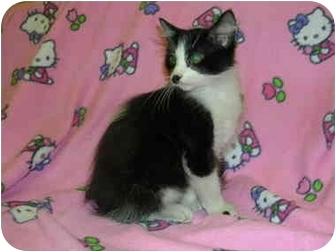 Hemingway/Polydactyl Cat for adoption in HARRISONVILLE, Missouri - hemmingway-od Course