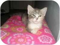 Calico Kitten for adoption in Tampa, Florida - Megan