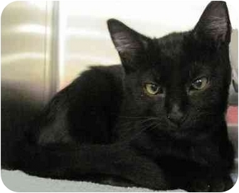 Domestic Shorthair Kitten for adoption in The Colony, Texas - Duncan
