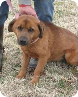 Chow Chow/Beagle Mix Dog for adoption in Florence, Indiana - Rosco