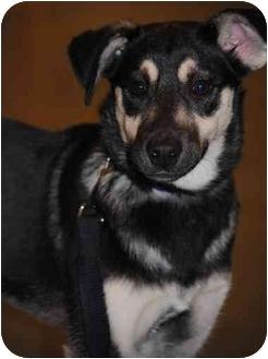 German Shepherd Dog Mix Puppy for adoption in Rochester/Buffalo, New York - Bella