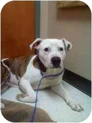 Pit Bull Terrier Mix Dog for adoption in Charlotte, North Carolina - Jake