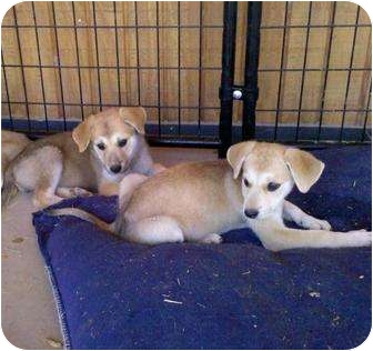 Labrador Retriever Mix Puppy for adoption in Gilbert, Arizona - LAYLA