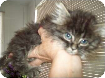 Maine Coon Kitten for adoption in Prince William County, Virginia - marty