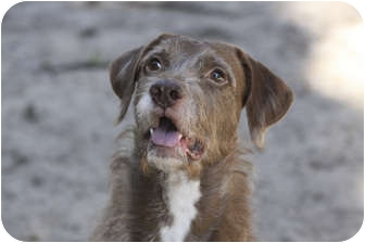 Vizsla/Wirehaired Pointing Griffon Mix Dog for adoption in Cantonment, Florida - Rupert