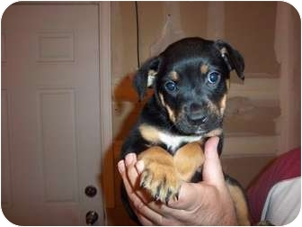 Rottweiler Mix Puppy for adoption in Westminster, Colorado - Emily