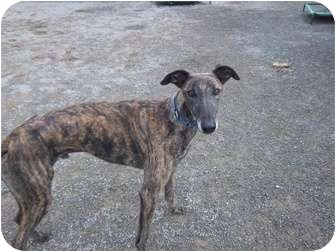 Greyhound Dog for adoption in Roanoke, Virginia - Leon