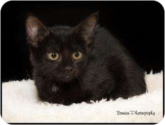Domestic Shorthair Kitten for adoption in Houston, Texas - Tiny