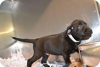 Labrador Retriever Mix Puppy for adoption in Edwardsville, Illinois - Smidget