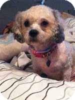 Poodle (Miniature)/Shih Tzu Mix Dog for adoption in Melbourne, Florida - ZURI