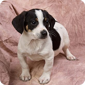 Jack Russell Terrier/Chihuahua Mix Puppy for adoption in Anna, Illinois - BRIDGER