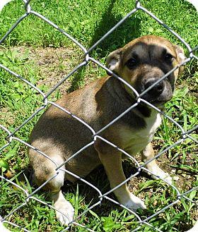 German Shepherd Dog/Labrador Retriever Mix Puppy for adoption in Bel Air, Maryland - Hazel