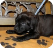 Labrador Retriever Mix Puppy for adoption in Salem, Massachusetts - Lilly