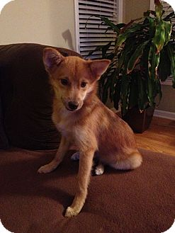 Shiba Inu/Sheltie, Shetland Sheepdog Mix Puppy for adoption in Jersey City, New Jersey - Calista Flockhart