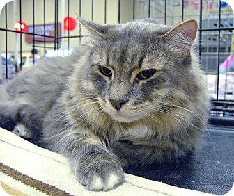 Maine Coon Cat for adoption in Pittstown, New Jersey - Harley