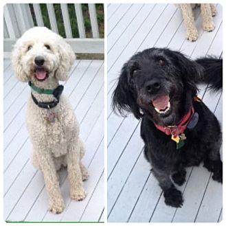 Labradoodle/Poodle (Standard) Mix Dog for adoption in West Warwick, Rhode Island - MILLIE & JILL