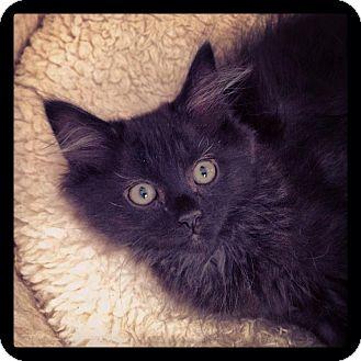 Domestic Longhair Kitten for adoption in Homewood, Alabama - Antonio