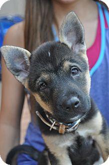 Shepherd (Unknown Type) Mix Puppy for adoption in Atlanta, Georgia - BeBe