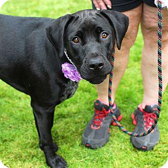 Labrador Retriever/Retriever (Unknown Type) Mix Dog for adoption in Detroit, Michigan - Anna-Adopted!