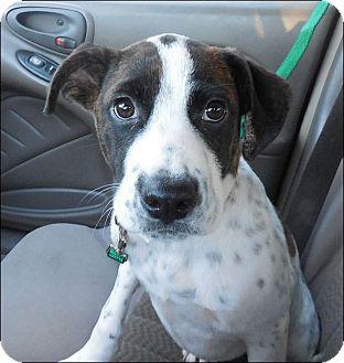 Hound (Unknown Type) Mix Puppy for adoption in Warwick, Rhode Island - Barney