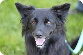 Pomeranian Mix Dog for adoption in Midland, Michigan - Kenzie