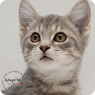 Domestic Shorthair Kitten for adoption in Troy, Ohio - Carson