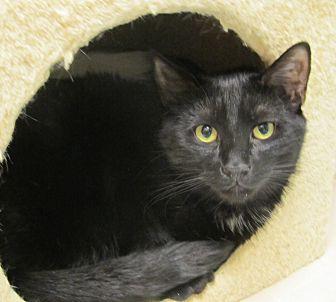 Domestic Shorthair Cat for adoption in Oakland, Oregon - Paddington