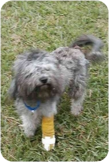 Poodle (Miniature)/Schnauzer (Miniature) Mix Dog for adoption in Cocoa, Florida - Victor(y)