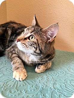 Domestic Shorthair Kitten for adoption in Las Vegas, Nevada - Jewel