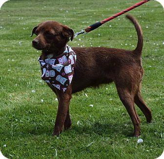 Schnauzer (Miniature)/Chihuahua Mix Dog for adoption in Washington, Pennsylvania - Maisy