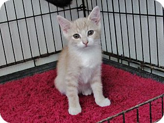 Domestic Shorthair Kitten for adoption in Grinnell, Iowa - Corn