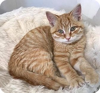 Domestic Shorthair Kitten for adoption in Eureka, California - Zale