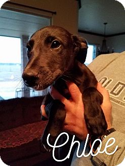 Greyhound/Irish Wolfhound Mix Puppy for adoption in Boston, Massachusetts - A - CHLOE
