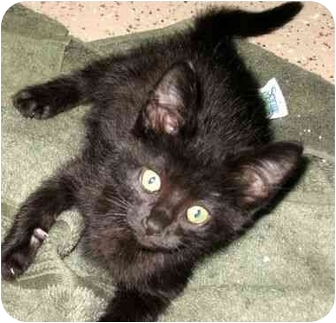Domestic Shorthair Kitten for adoption in Muskegon, Michigan - RASCAL