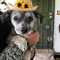 Adopt A Pet :: Zimba - Orange County, CA
