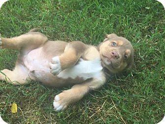 Shepherd (Unknown Type)/Labrador Retriever Mix Puppy for adoption in Hillsboro, Missouri - Mater