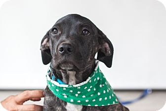 Labrador Retriever Mix Puppy for adoption in Victoria, British Columbia - Dolly