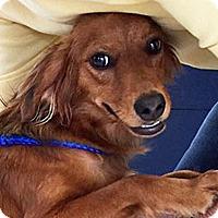 Adopt A Pet :: Prissy - BIRMINGHAM, AL