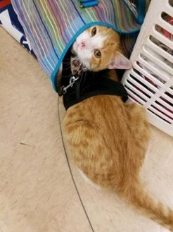 Domestic Shorthair/Domestic Shorthair Mix Cat for adoption in Beaumont, Texas - Champ