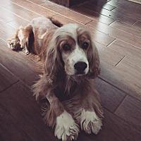 Adopt A Pet :: Dasher - Groton, CT