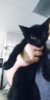 Domestic Shorthair/Domestic Shorthair Mix Cat for adoption in Fresno CA, California - Hyde